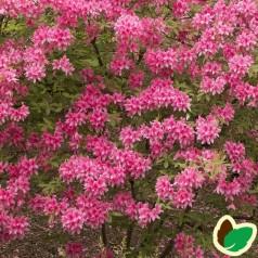 Rhododendron knaphill Rosy Lights - Haveazalea