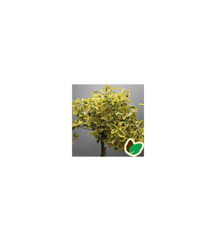 Euonymus fortunei Emerald Gold / 60 cm. stamme