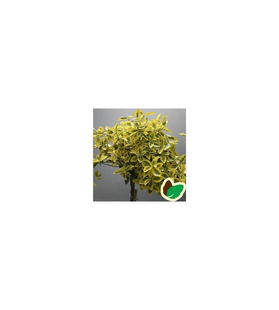 Euonymus fortunei Emerald Gold / 60 cm. stamme