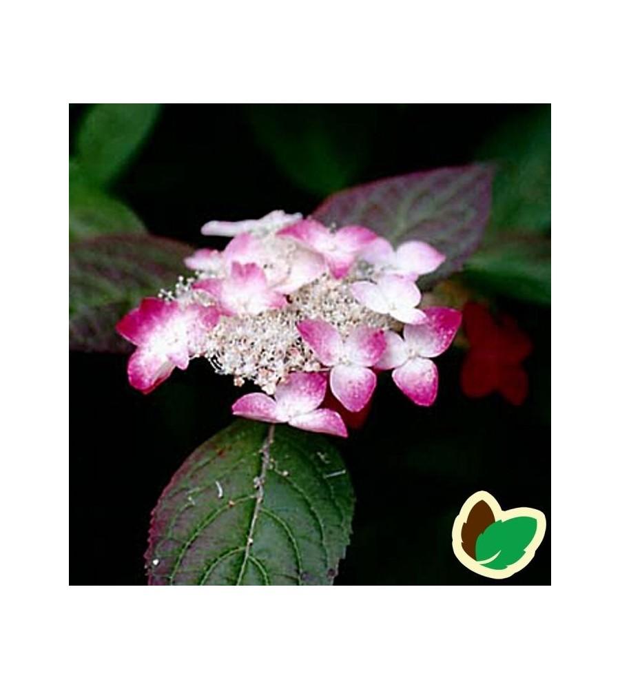 Hydrangea serrata Rosalba / Hortensia