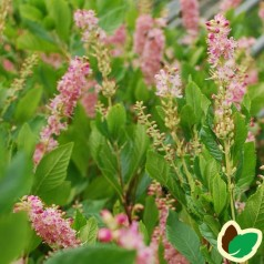 Clethra alnifolia Hokie Pink / Konvalbusk