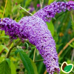 Buddleja davidii Border Beauty / Sommerfuglebusk