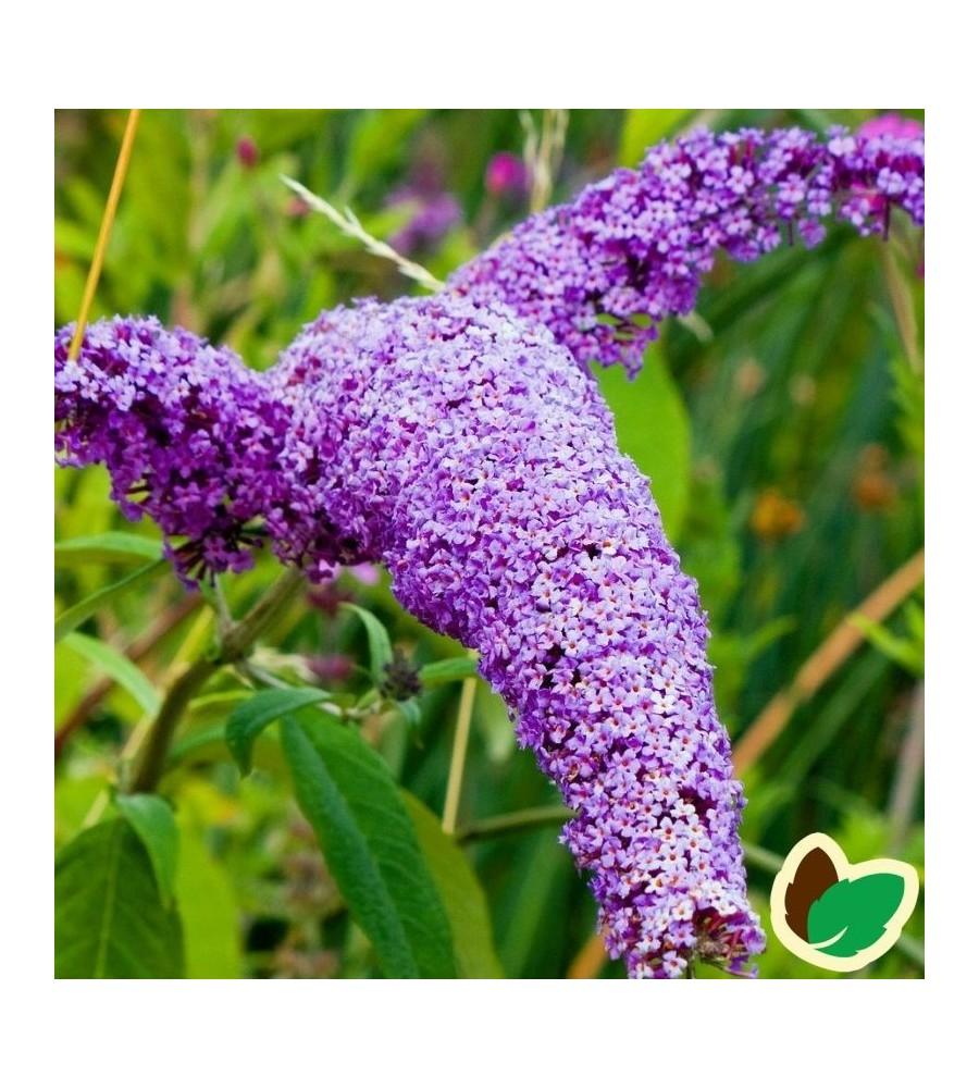 Buddleja davidii Border Beauty / Sommerfuglebusk