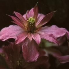 Clematis montana Broughton Star / Klematis