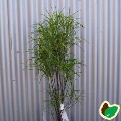 Rhamnus frangula Fine Line / Søjleformet trådbladet Tørstetræ
