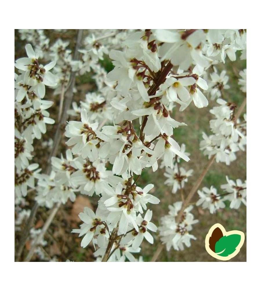 Abeliophyllum distichum - Hvid Forsythia