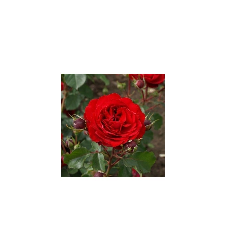 Rose Kronborg - Slotsrose