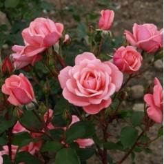 Rose Sofiero - Slotsrose