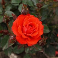 Rose Top Hit - Buketrose Lav / Barrods