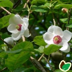 Magnolia Sieboldii / Åkandemagnolia