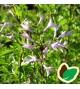 Syringa persica laciniata - Fligbladet dværgsyren