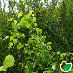 Betula pendula Spider Alley - Troldbirk