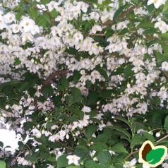 Styrax japonica / Japansk Sneklokke