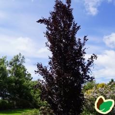 Fagus sylvatica Dawyck Purple - Rødbladet Søjlebøg / 100-125 cm.