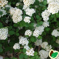 Birkebladet Spiræa Tor 20-40 cm. - 10 stk. barrodsplanter - Spiraea betulifolia Tor