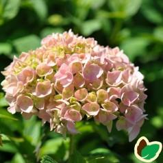 Hydrangea macrophylla Skibelund Exelent Choiz - Hortensia
