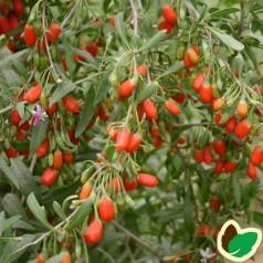 Gojibær - Bukketorn Nr 1 Lifeberry