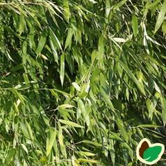 Bambus Bambi - Gul Bambus