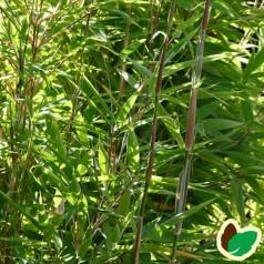 Bambus Panda - Gul Bambus
