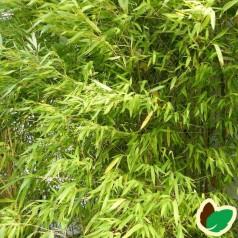 Bambus Simba - Gul Bambus