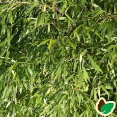 Bambus Tiny - Gul Bambus