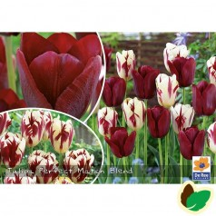Tulipanløg - Blanding Perfect Match - 50 Løg