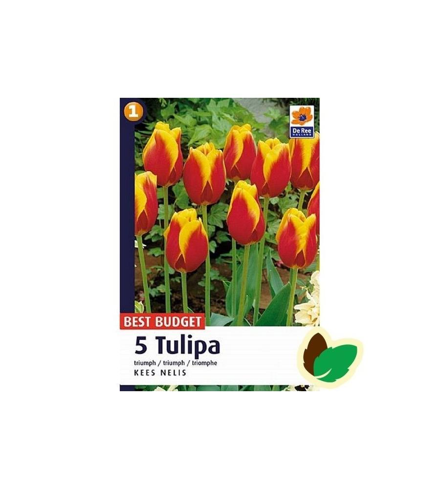 Tulipanløg Kees Nelis - Triumph Tulipan - 5 Løg