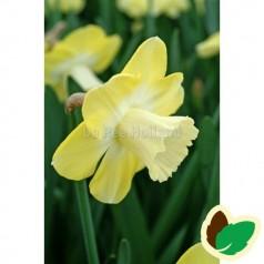 Påskeliljeløg Avalon - Narcissus / 5 Løg