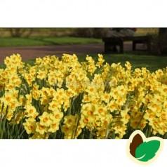Pinseliljeløg Martinette - Narcissus / 5 Løg
