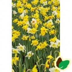Påskeliljeløg Storblomstret MIX - Narcissus / 50 Løg