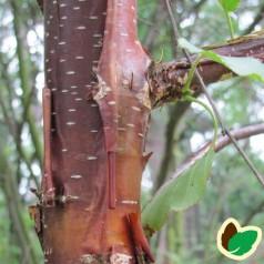Betula albosinensis - Rødbirk 150-175 Cm. i potte.