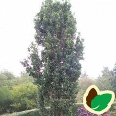 Quercus robur Fastigiata - Pyramideeg / 150-175 cm.