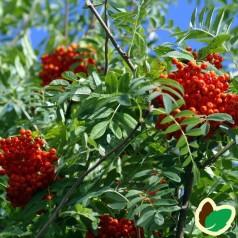 Sorbus commixta Carmencita - Japansk Røn / 200-250 cm.