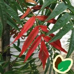 Sorbus commixta Dodong - Koreansk Røn / 150-175 cm.