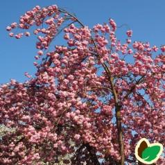 Prunus serrulata Kiku shidare Sakura / Japansk Hængekirsebær / 150 cm. stamme med krone.