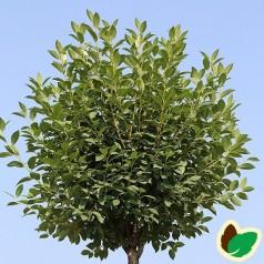 Prunus x eminens Umbraculifera serrula - Kugle Kirsebær på Serrula stamme - Stamme højde 150 cm.