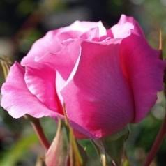 Rose The McCartney Rose - Storblomstret Rose / Barrods