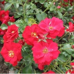 Rose Austriana - Buketrose / Barrods