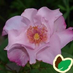 Rose Odyssey - Buketrose / Barrods