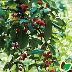 Euonymus Red Cascade / Benved