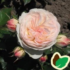 Rose Pastella - Buketrose / Barrods