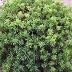 Picea glauca Blue Planet / Dværggran
