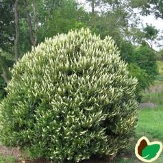 Clethra alnifolia Siwteen Candles / Konvalbusk