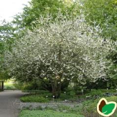 Halesia monticola - Sneklokketræ
