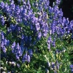 Aconitum carmichaelii Fischeri - Stormhat