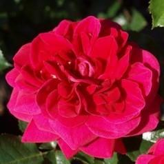 Rose Avila Palace - Palace Rose / Barrods
