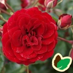 Rose Balmoral Palace - Palace Rose / Barrods