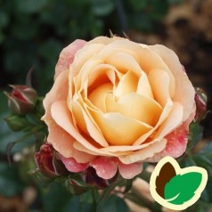 Rose Trakai Palace - Palace Rose / Barods