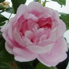Rose Fantin-Latour - Historisk Rose / Barrods