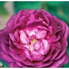 Rose Reine des Violettes - Busk Rose / Barrods